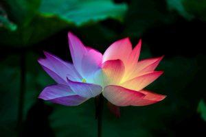 lotus flower 5151674 1920 300x200